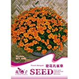 Direct French Marigold Patula Tagetes Flower Garden Plant Seed