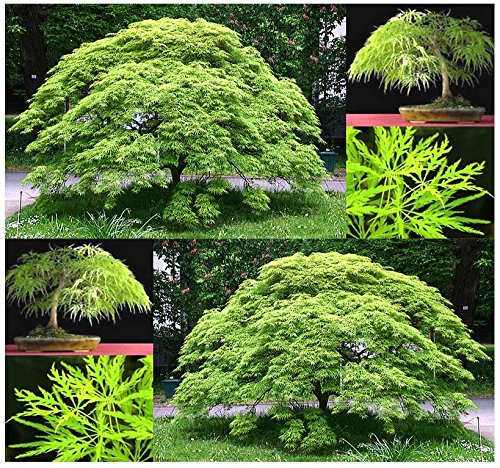 Green Lace Japanese Maple - All 4 Packets x Burgundy Lace, Green Lace Leaf, Red Lace Leaf, Japanese Red Maple Seeds - ACER palmatum matsumurae Seeds - By MySeeds.Co (All 4 Packets)