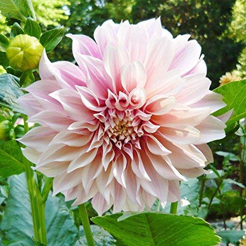 Dahlia Tubers (Dinnerplate) - Cafe au Lait - Bag of 2, Late Summer/Creamy Beige Flowers