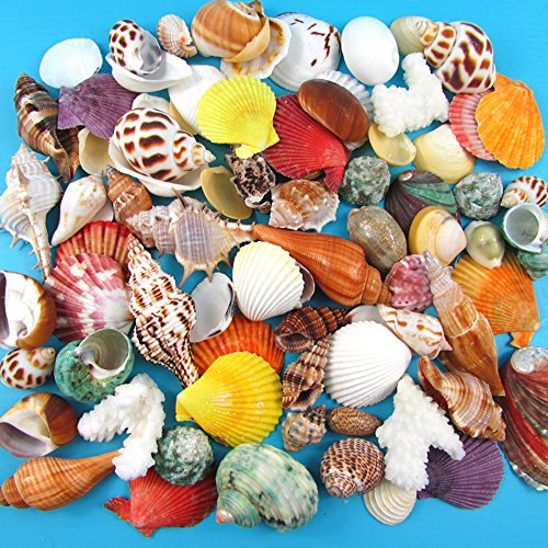 Running Ant Natural Sea Shells Bulk Pack of 130 Various 2cm-6cm Size Beach Seashells Conch for Decorative