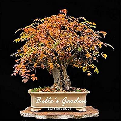 30pcs Ash Tree Seeds Fraxinus Americana Seeds Beautiful Foliage Bonsai Tree Seeds Pot Plant DIY Home Garden
