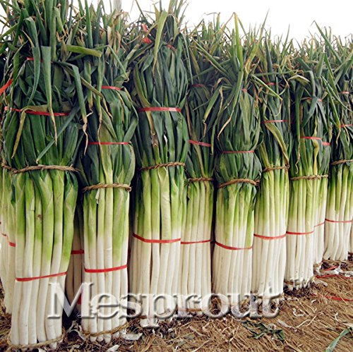 Shangdong Zhangqiu Giant Chinese Green Onion Seeds Plant Chinese Vegetable Seed 100 Seeds #32754782675ST