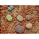 Generic Lithops Rare Plants (Only One Plant Not A Pot)