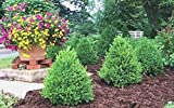 Green Mountain Boxwood - Live Plants - Lot of 10 Shrubs in Gallon Pots