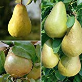 Hot Sale 30 pcs/ bag Rare Pear Seeds Outdoor Juicy Organic Non-GMO Bonsai Potted Garden Plant Tree for Flower Pot