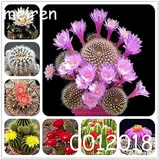 Pinkdose 100 pezzi Bonsai cactus Rebutia varietà fioritura color cactus cactus raro e piante grasse ufficio succulente fioritura cactus cactus: misto