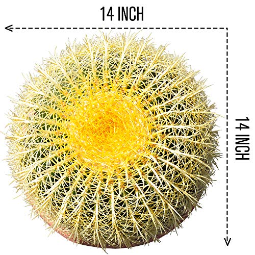 Golden Barrel' 14'' Plus Echinocactus Grusonii Cactus Specimen Very Large Drought Tolerant Plant by THE NEXT GARDENER (Image #1)