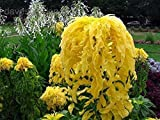 Amaranthus Tricolor - Yellow 100 seeds Eye catching Showy E78