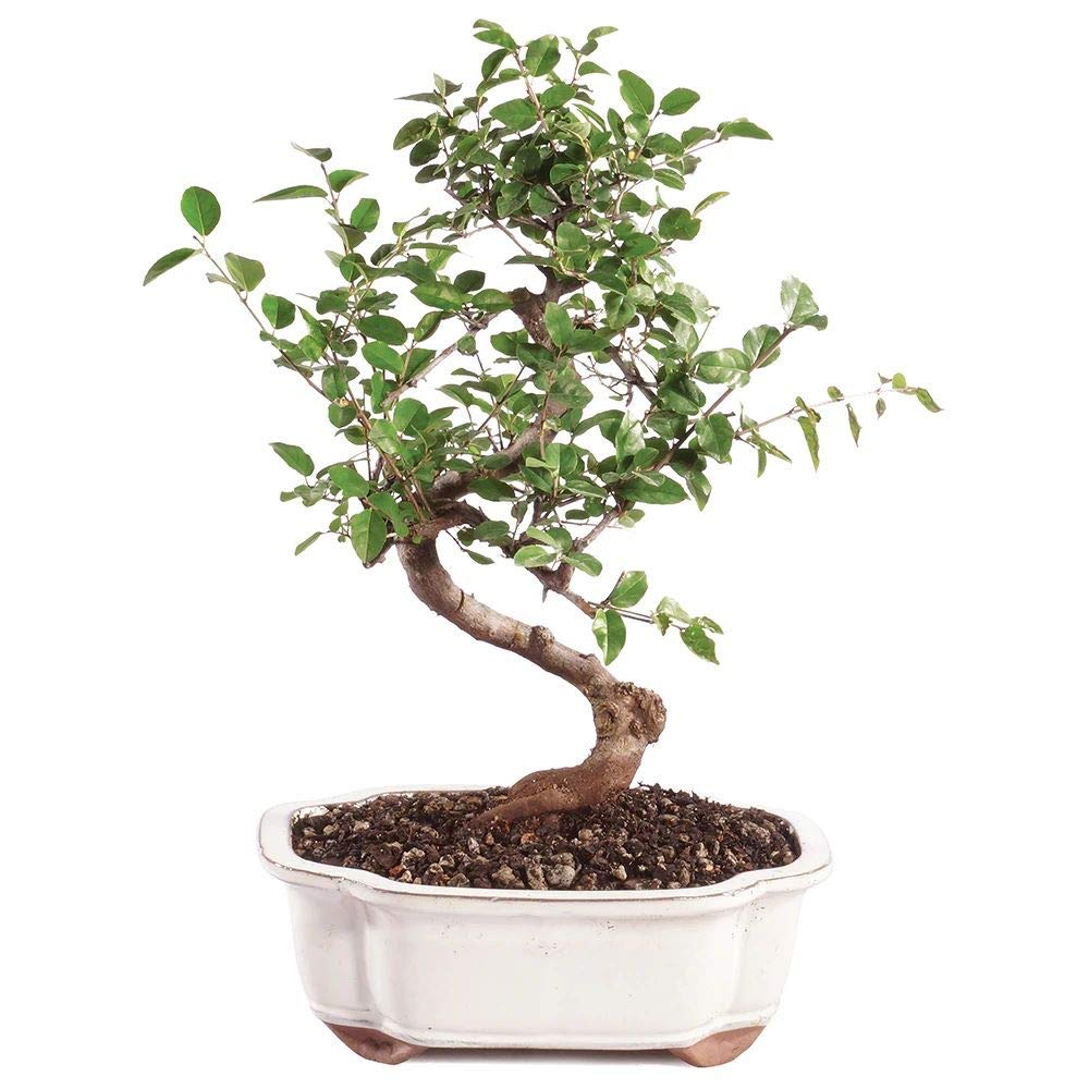 Brussel's Bonsai Live Chinese Sweet Plum Indoor Bonsai Tree - 5 Years Old 6'' to 10'' Tall with Decorative Container, Medium,