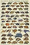 Turtles, Tortoises, & Terrapin Educational Science Animal Chart Print Poster 24x36 by Picture Peddler
