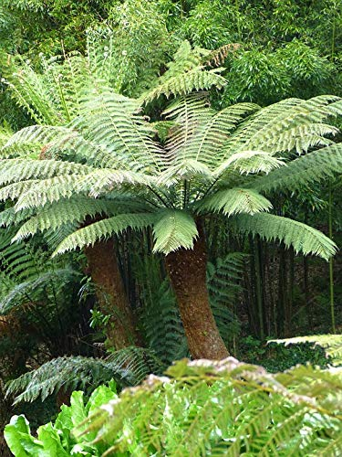 Dicksonia Antartica Woolley Tree Fern 70-80cm Tall in 5lt Pot (Live Plants) Longacres