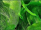 Madagascar Lace Bulb - Aponogeton...