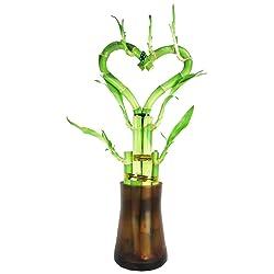 Heart shaped Bamboo plant