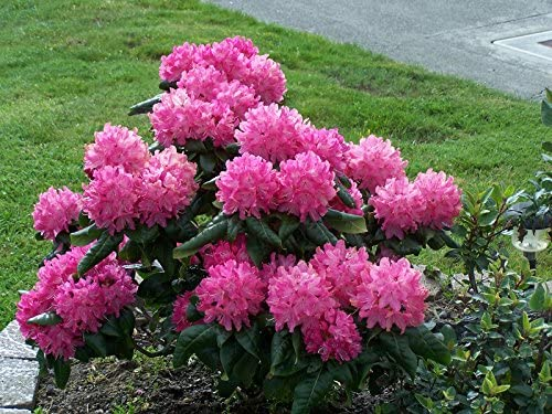 Amazon Com Rhododendron Holden 1 Container Size Plant