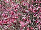Leptospermum scoparium NEW ZEALAND TEA TREE Seeds!