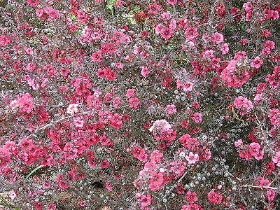 - Leptospermum scoparium NEW ZEALAND TEA TREE Seeds!
