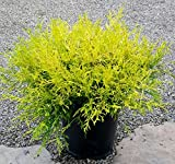 gold thread cypress Gold Mop Cypress - 2 Gallon Size, Dwarf Yellow Evergreen for Small Areas
