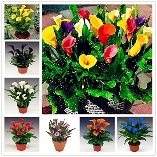 Kaimus Semillas 100 unids Calla Lily Seeds Raras Semillas de Flores Bonsai Planta En Maceta Flores Perennes