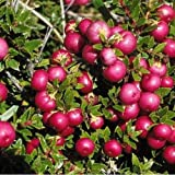 1 Packet of 50 Seeds Prickly Heath Bush/Ericaceae / Gaultheria Mucronata