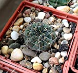 LAMINATED POSTER Gymnocalycium Cactus Barb Scratchy Succulent Poster Print 24 x 36