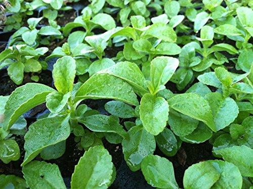 HERB - STEVIA - NATURAL NO CALARIE SWEETENER - 4 PLANTS -...