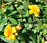 Fairy Tales Sleeping Beauty Purslane – Yellow Double Flower Portulaca - Cuttings