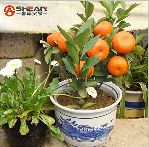 100pcs/bag Balcony Patio Potted Fruit Trees Planted Seeds Kumquat Seeds Orange Seeds Tangerine Citrus