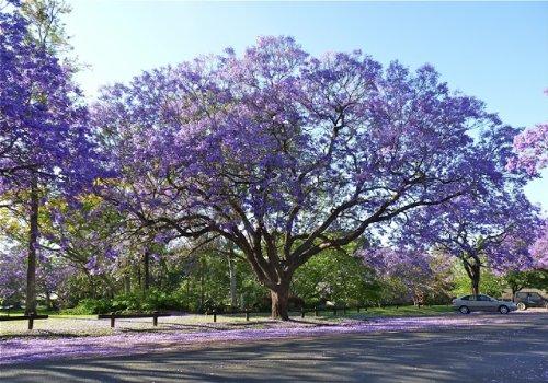 - Live Purple Jacaranda Tree (1 Gallon), Flowering Trees