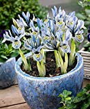 25 Dwarf Iris, katherine hodgkin bulbs,early-blooming with beautifully patterned