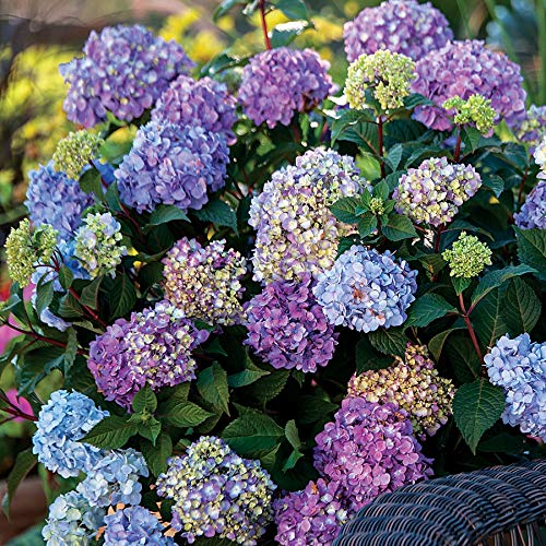 Endless Summer Hydrangea - Endless Summer Hydrangea Floral Plant - 1 Gallon