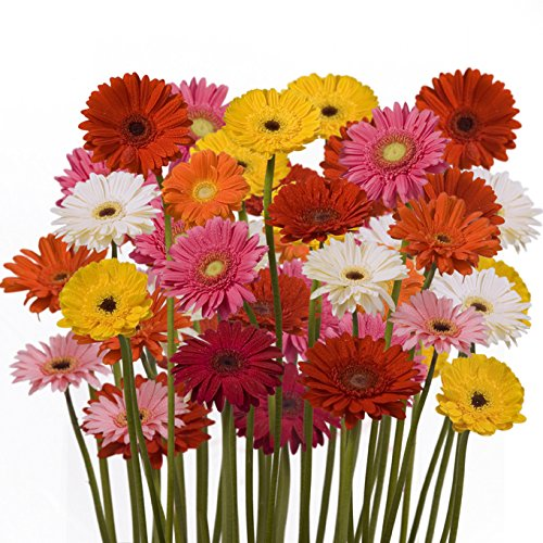 Wholesale Gerberas (150 Assorted) by eFlowy (Image #3)