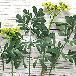 Package of 200 Seeds, Rue Herb (Ruta graveolens) Non-GMO Seeds By Seed Needs