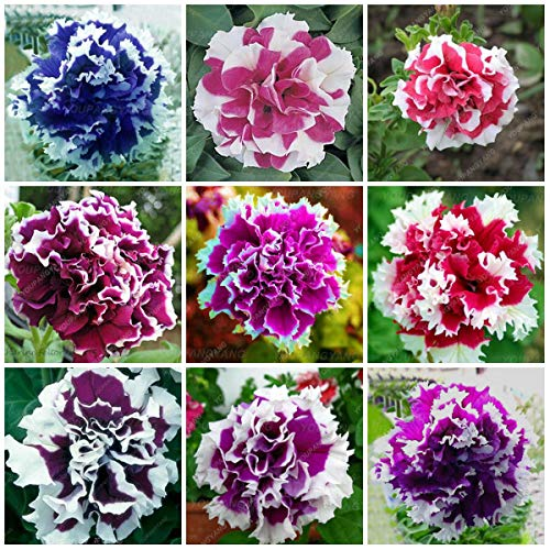 (MAYAGREEN 100pcs Hanging Petunia Mixed Bonsai Color Waves Beautiful Flowers for Garden Plantas for Home Decoration Multi-Colored(Seeds Only))