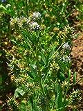 Schabzigerklee (Trigonella caerulea) 400 Samen Blauer Steinklee Honigklee Brotklee Käseklee Zigerchrut