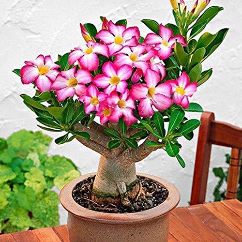 20Pcs Adenium Obesum Seeds Desert Rose Flower Bonsai Perennial Plant Home Decor - Adenium Obesum ()