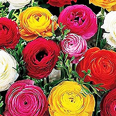 French Peony Ranunculus Mix - 12 Largest Size Corms