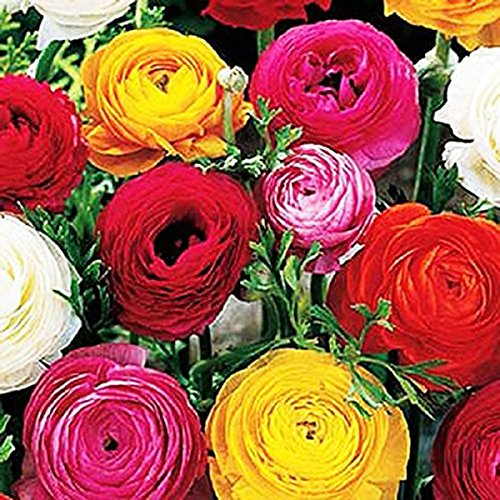 French Peony Ranunculus Mix - 12 Largest Size Corms (Peony Mix)
