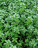 Common Thyme Seeds, Thymus bulgaris, NON-GMO, Variety Sizes 1.6 million seeds