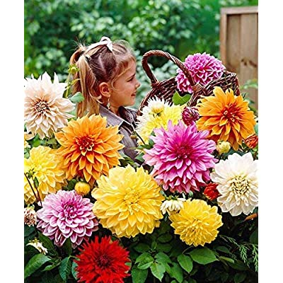 Dahlia Seeds, Zinnia Fower Seeds, Hybrid Chinese Flowers High Germination Plant for Home & Garden : Garden & Outdoor