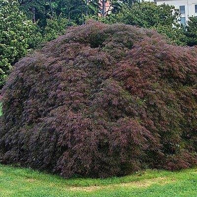 Amazoncom 1 Gal Crimson Queen Japanese Maple A Truly Remarkable