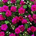 Live Plants, Double Impatiens, purple blooms, gorgeous hanging baskets