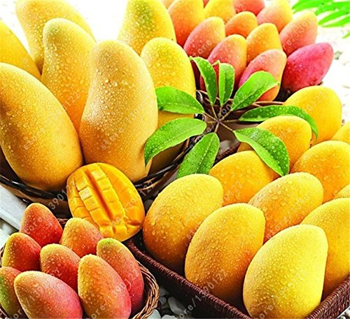 HOO PRODUCTS - 2 pcs/bag mango seeds,mini mango tree seeds,bonsai tree seed,Organic heirloom fruit seeds,pot plant for home garden Cheap! - Organic Tree Seeds