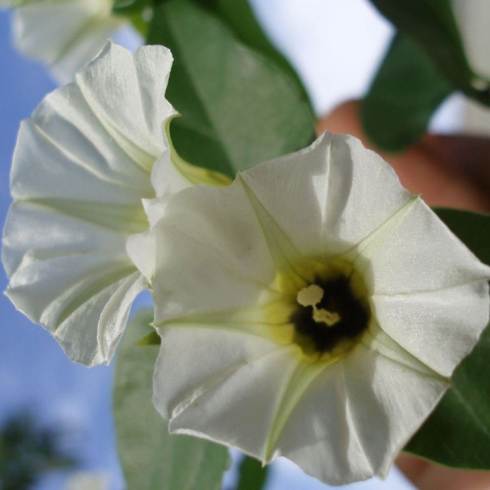 30 Rivea Corymbosa Turbina Corymbosa Seeds