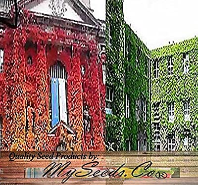 BIG PACK - 1/2 oz (450+ Seeds) Woodbine Grape Boston Japanese Creeper Ivy Parthenocissus tricuspidata Seeds - By MySeeds.Co