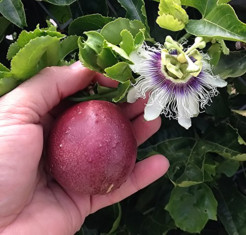 Cold Hardy 'Red Rover' Passiflora Edulis - Edible Purple Passion Flower Fruit Vine - Live Plant