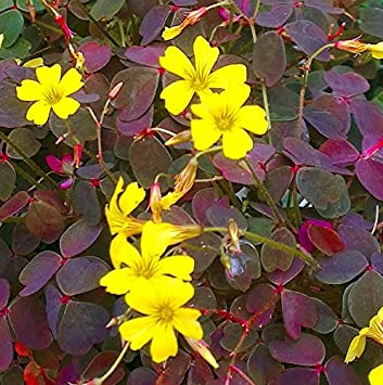 Oxalis burgundy stunning dark leaved yellow flowered perrennial oxalis burgundy stunning dark leaved yellow flowered perrennial oxalis in 7cm pot mightylinksfo