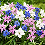 Wish Upon a Starflower Mix - 10 Robust Pink, White and Blue Ipheion Uniflorum Bulbs - 6+ cm