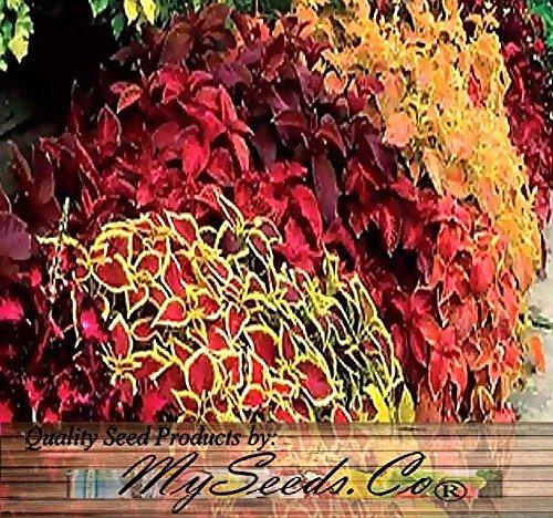 BIG PACK - (10,000+) COLEUS blumei Rainbow Mix - Flower Seeds By MySeeds.Co (Big Pack - Coleus Rainbow Mix)