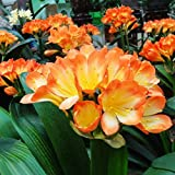 5pcs Bush Lily Clivia Seeds Living Room Plant