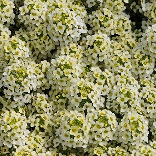 Outsidepride Lemonade Alyssum Ground Cover Plant & Flower Seed - 1000 Seeds ()